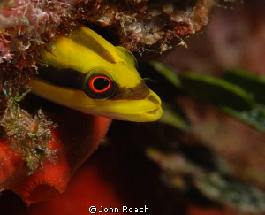 Woody woodpecker.   Wrasse Blenny (Hemienblemaria simulus) by John Roach 